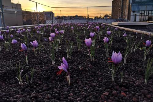 Gallery Saffron Urban Farming 1