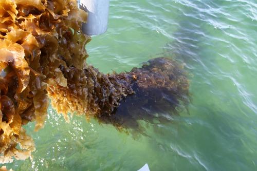 Gallery Seaweed Farmer 1.0  2