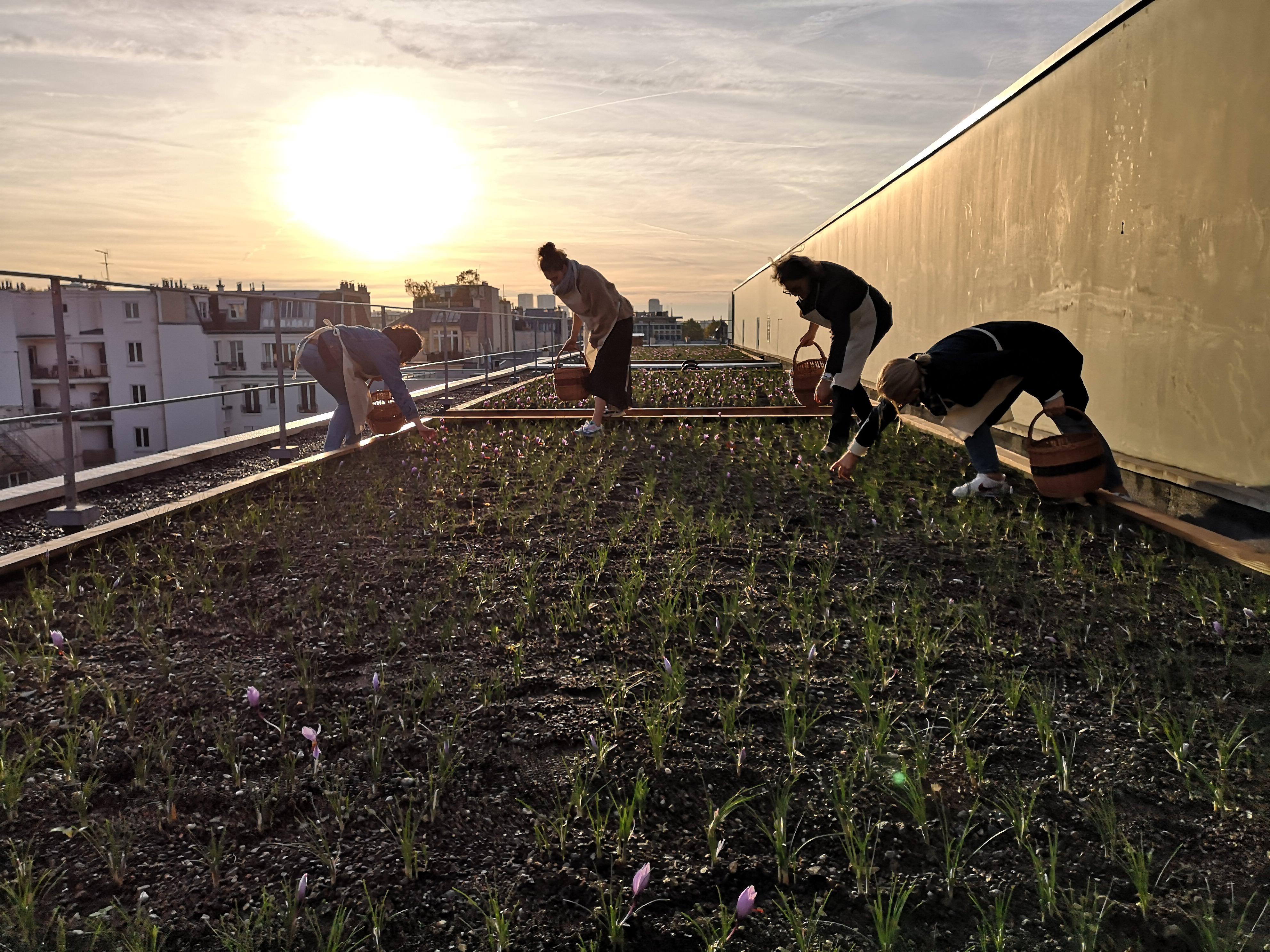 Gallery Saffron Urban Farming 3